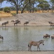 Herd of Gnus, Zebra and Impala — Stock Photo #61126861