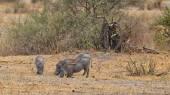 Eating Warthogs — Stock Photo