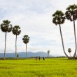 Palm tree row and rice field in the Mekong Delta, Chau Doc city, An Giang province, Vietnam. — Stock Photo #60412495