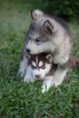 Alaska Puppy — Stok fotoğraf