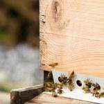Постер, плакат: Honeybees return to hive with pollen