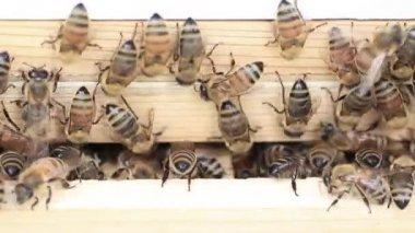 Szalony washboarding pszczół miodnych — Wideo stockowe