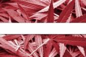 Latvia Flag on cannabis background. Drug policy. Legalization of marijuana — Foto de Stock