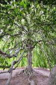 Expanse of a Large Tree — Stock Photo