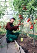 Worker processing the tomatoes bushes in the greenhouse — Stock Photo