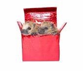 Two little hedgehogs, getting out of a gift box — Stock fotografie