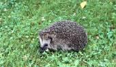 Forest wild hedgehog — Stock Photo