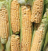 Background of fresh yellow corn cobs — Stock Photo