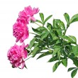 Постер, плакат: Bouquet of three beautiful pink peonies isolated