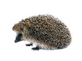 Little forest hedgehog lying on his back isolated — Stock Photo