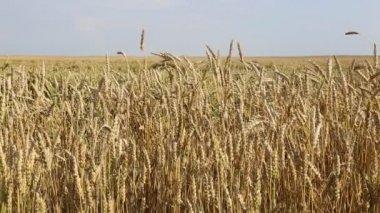 Espigas de trigo maduro — Vídeo stock
