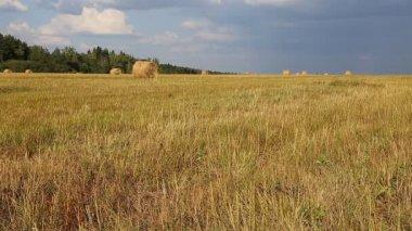 Mature wheat ears — Stock Video