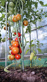 Red and green tomatoes ripening on the bush in a greenhouse of t — Stock Photo