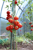 Red tomatoes ripening on the bush in a greenhouse — Stock Photo