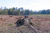 Forest glade after the felling of trees — Stock Photo