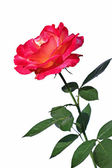 Pink rose flower isolated — Stock Photo