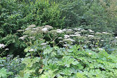 Thickets of flowering plants hogweed — Stock Photo