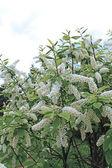 Branch of bird cherry blossoms — Stock Photo