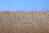 Mature wheat ears — Stock Photo