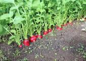 Ripe oval red radish — Stock Photo