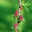 A branch of larch with the young needles and small cones — Stock Photo #70125057