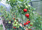 Red and green tomatoes ripening on the bush in a greenhouse — Stock Photo