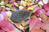 Little forest hedgehog on a background of bright autumn leaves — Stock Photo