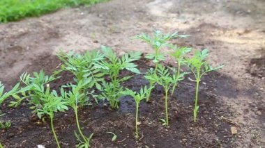 Young plants tagetes which are grown up for seedlings — Stock Video