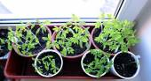 Tomato seedlings on the windowsill at home — Stock Photo