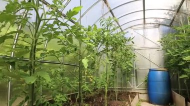 Young tomato plants in a greenhouse made of transparent polycarbonate — Stock Video