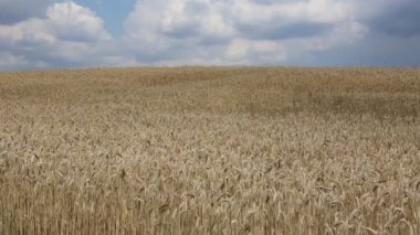 Video wheat field swaying in the wind — Stock Video