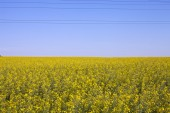 Field of yellow flowers — Stock Photo