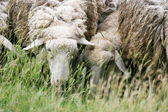 Close up of sheep eating grass — Stock Photo