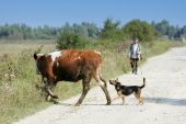 Cow and dog crossing road — Stock Photo