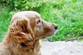 Golden retriever side view — Foto Stock