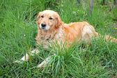 Documentalista dorato sdraiato nell'erba — Foto Stock
