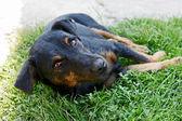 Half breed dog lying in grass — Stock Photo