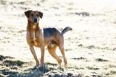 Yarım doğurmak köpek çayır üzerinde — Stok fotoğraf