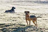 Half breed dogs in field — Foto Stock