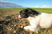 Black and white pekingese dog running on meadow — Stockfoto