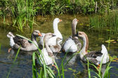 Group of geese in pond — Stock Photo