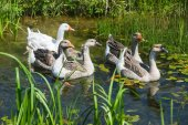 Group of geese in swamp — Stock Photo