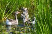 Group of geese in water — Stock Photo