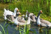 Group of geese swimming in swamp — Stock Photo