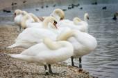 Group of swans on lake shore — Zdjęcie stockowe