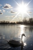 Swan swimming in nature — Stock Photo