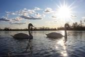 Swans in nature — Stock Photo