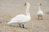 Swans on pebble shore — Stock Photo