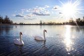 Swans swimming in lake — Stock Photo