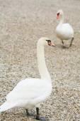 Swans on pebble  — Stock Photo